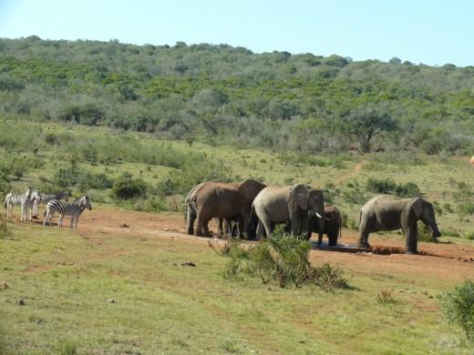 Elephants and Zebra at Waterhole