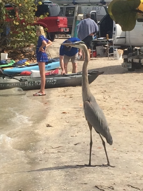 A Heron at the kayak launch in Venice