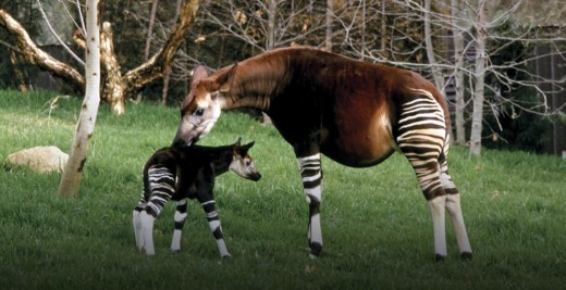 The okapi and its youngling