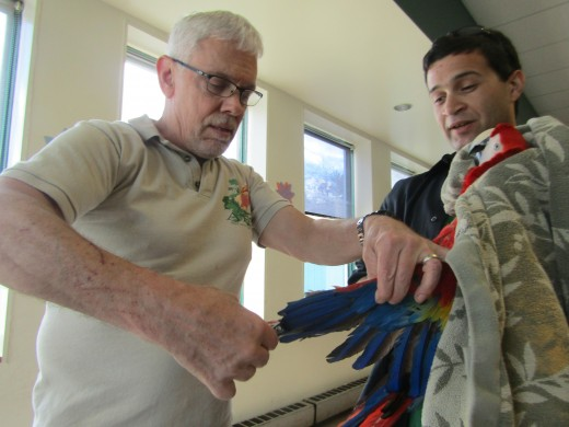 Dr. George Messenger and Brent Rodriguez do a wing clip on a scarlet macaw at the Birds Of A Feather spring mart in Auburn, NH last week. - Photo by George Sommers