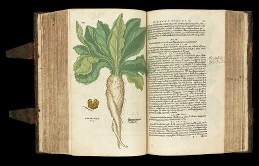 Mandrake root detailed in an old book.