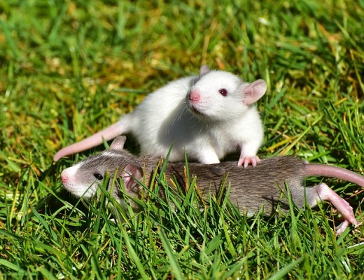 Rats do better while living in pairs.