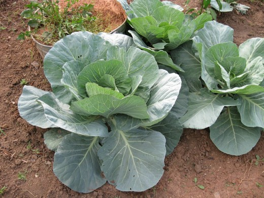 Cabbage growing in an outside garden.