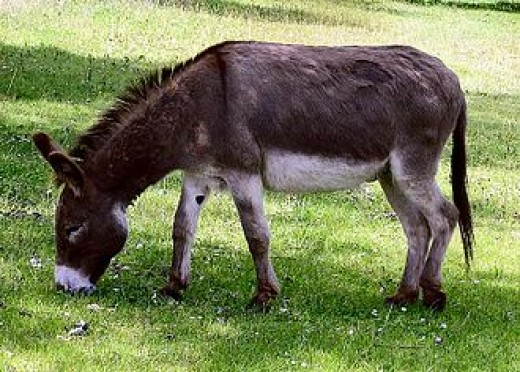 Synonyms for Equus africanus asinus: donkey, ass, jenny, burro
