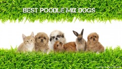 10 Most Popular Poodle Mix Dog Breeds