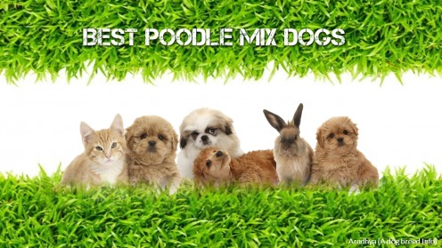 Top 10 the Best Poodle Mix Dogs