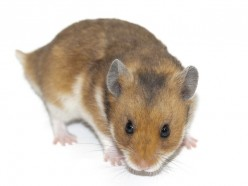 Hamster Basic Care