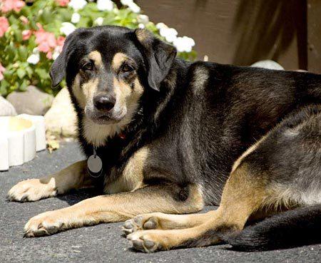 Labra Shepherd, Labrador and German Shepherd mix.