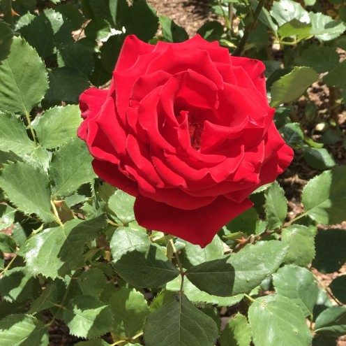 ...and, of course...everyone loves a red, red rose.