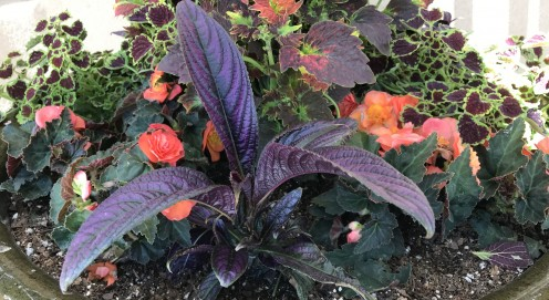 Coleus can be a great houseplant.