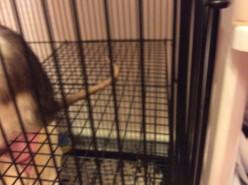 OMG, It's a Rat: My Life With Pet Rats