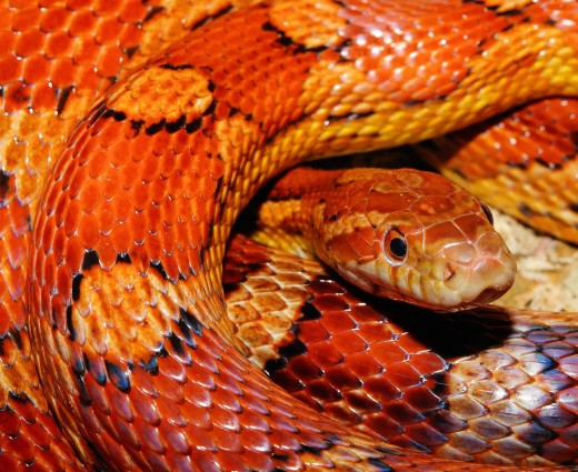 A corn snake with their bright, orange color