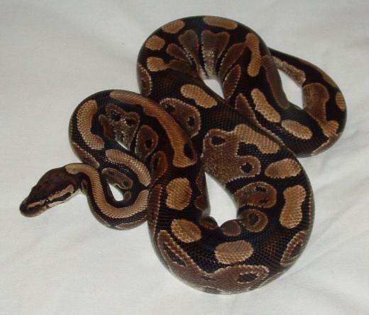 The wild form of ball python