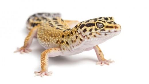 The leopard gecko is an ideal pet for beginner