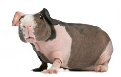 Skinny Pigs: Mutant or Pet?