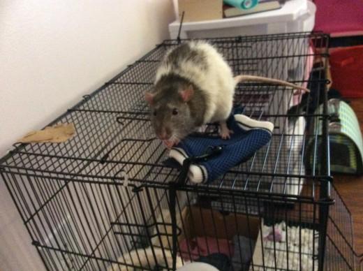 Templeton, my Rat with chronic respiratory disease