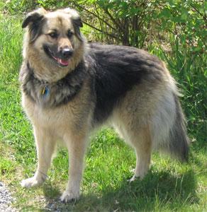 Shollie (Border Collie and German Shepherd mix dog)