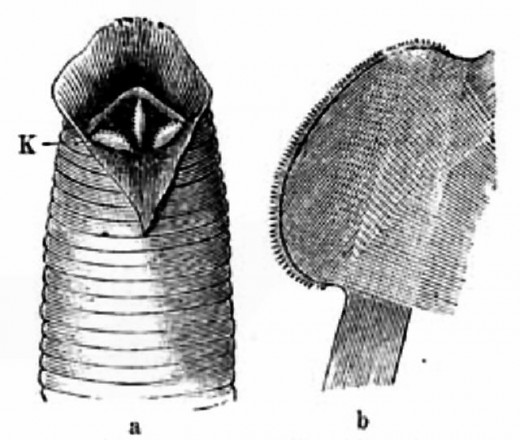 Leech mouthparts and sucker