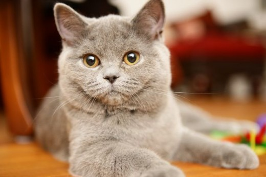 how long does it take for a cat to heal after being spayed