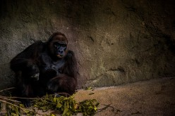 Haunted Zoo and the Silverback Gorilla