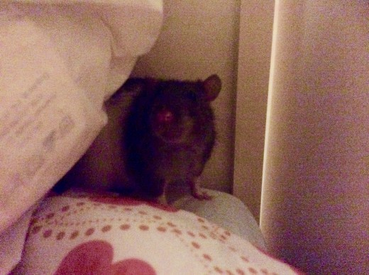 Scabbers hiding behind pillows