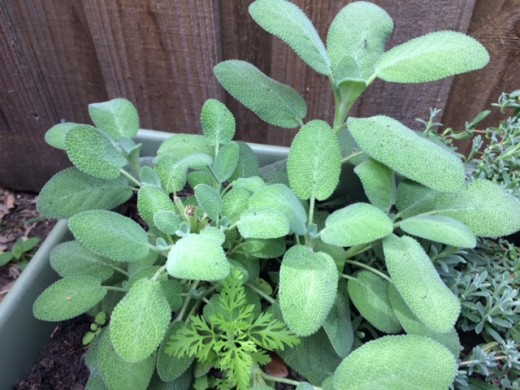 Sage is an essential ingredient for holiday meals but also great for various magical purposes.