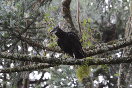 An American black vulture perched in a tree.  The birds can live happily alongside humans, largely unafraid, and will eat the food and some of the other waste that humans throw away.  They also feed off the carcasses of animals hit by cars.