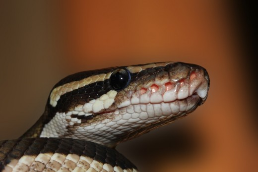 Ball python capable of squeezing the life out of almost every living thing.
