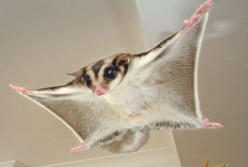 Sugar Gliders- General Info and Pet Keeping