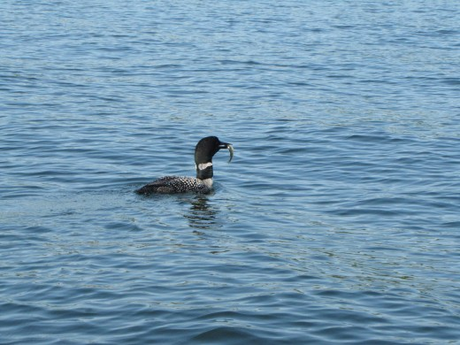 I finally captured a photo of a loon with a fish in its beak.