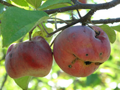 Apples afflicted by apple maggot