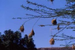 weaverbirds' nests photo from: http://www.junglephotos.com/africa/afanimals/birds/weavernest.shtml