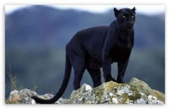 A Panther Tale