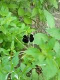 Identifying Black Dragonflies
