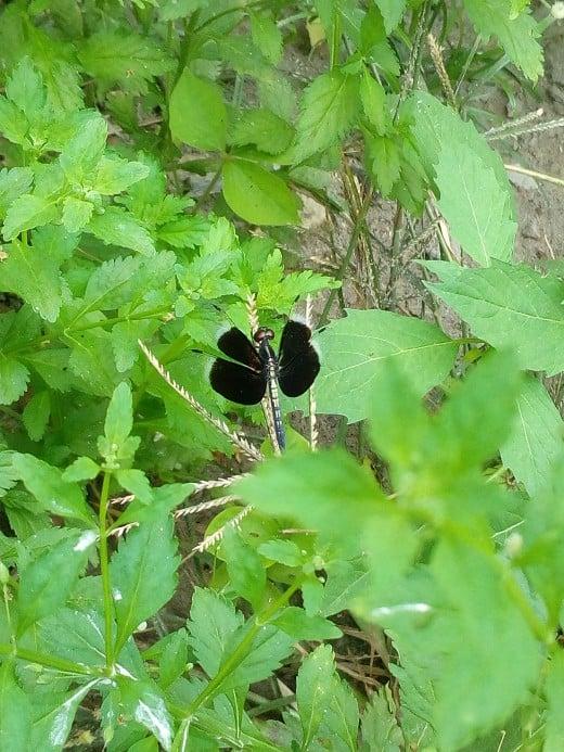 A Widow Skimmer at my Grandma's Garden.
