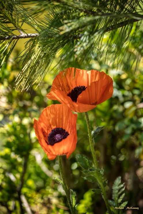 Poppy flowers have always played an important role in religion, politics and mythology, as well as medicine.
