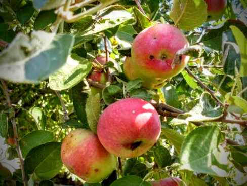 Unknown variety of sweet-tart apples, growing on a friend's property in northeastern Colorado.