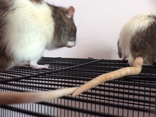 Love at first sight... notice the tails touching as Scabbers (left) and Templeton (right) wash.