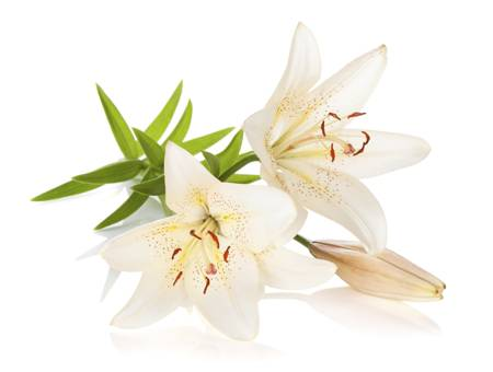 Lily- The Flower of Devotion and Purity