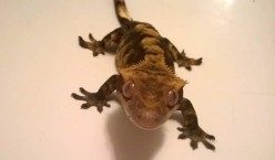 A Care Guide For A Crested Gecko