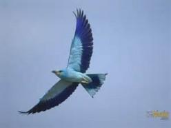 Bluebird's Songs of Joy