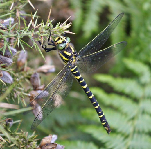 A Golden-ringed Dragonfly