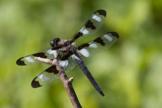 A Twelve-Spotted Skimmer