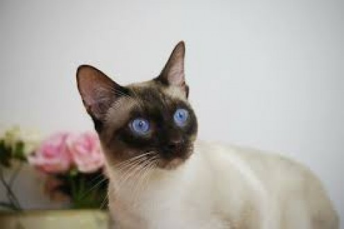 Thailand is the location of some amazing felines called Siamese cats.