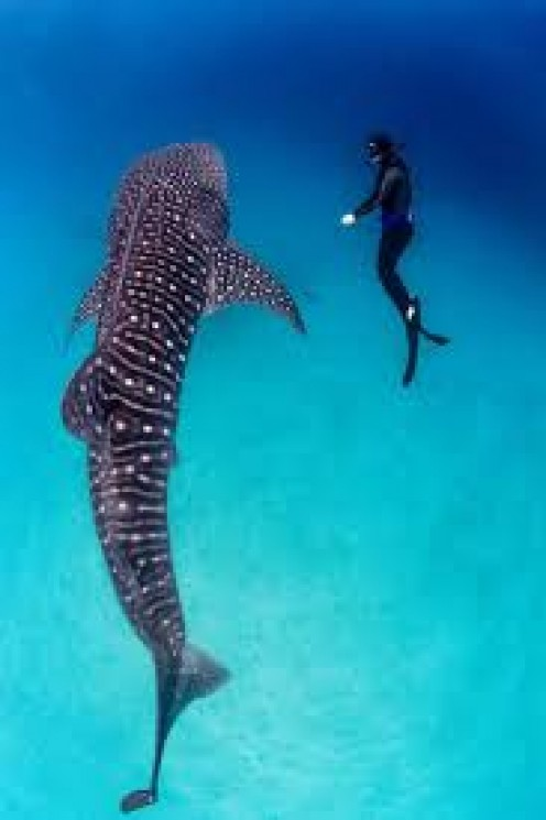 The whale shark is located in Thailand and it is the largest species of fish in the entire world.