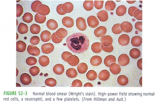 Normal blood smear