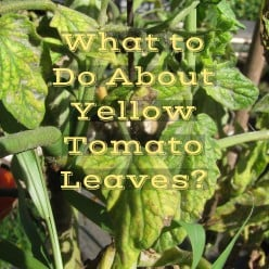 The Causes & Cures of Yellow Leaves on Tomato Plants