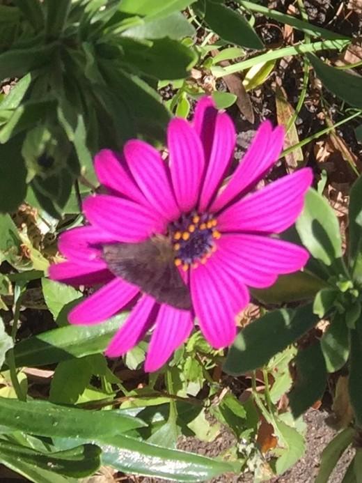 Gazenia flower and butterfly