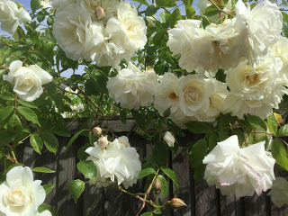 Roses tumbling over my fence