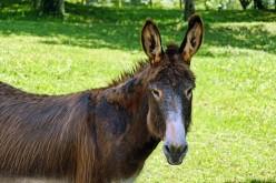 Mule Plus Farmer Equals a Successful Southern Farmer